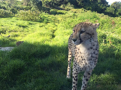 l_fair_safrica_cheetah_jun16.jpg