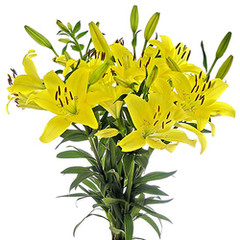 Asiático lili amarilla.