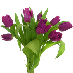 Tulipán morado