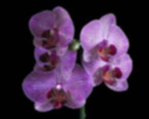 orquídeas, florerías en Querétaro