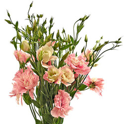 Liscianthus carmín