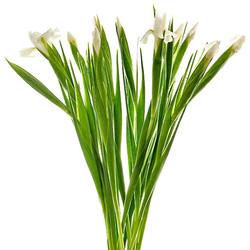 Iris blanco