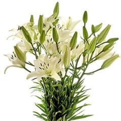 Asiático lili blanca.