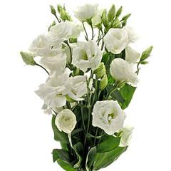 Liscianthus blanco
