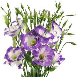 Liscianthus picoté -bicolor-