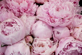 pink peonies.jpg