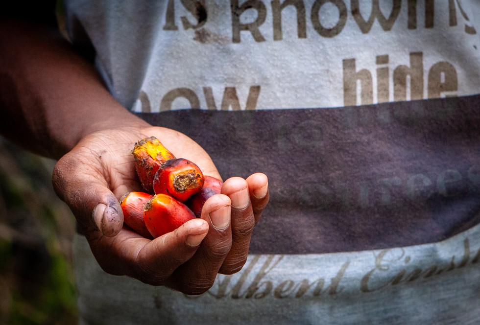 Freshly harvested palm oil kernels in the shell.