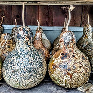 Mold patterns on drying gourds
