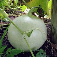 Basketball Gourd