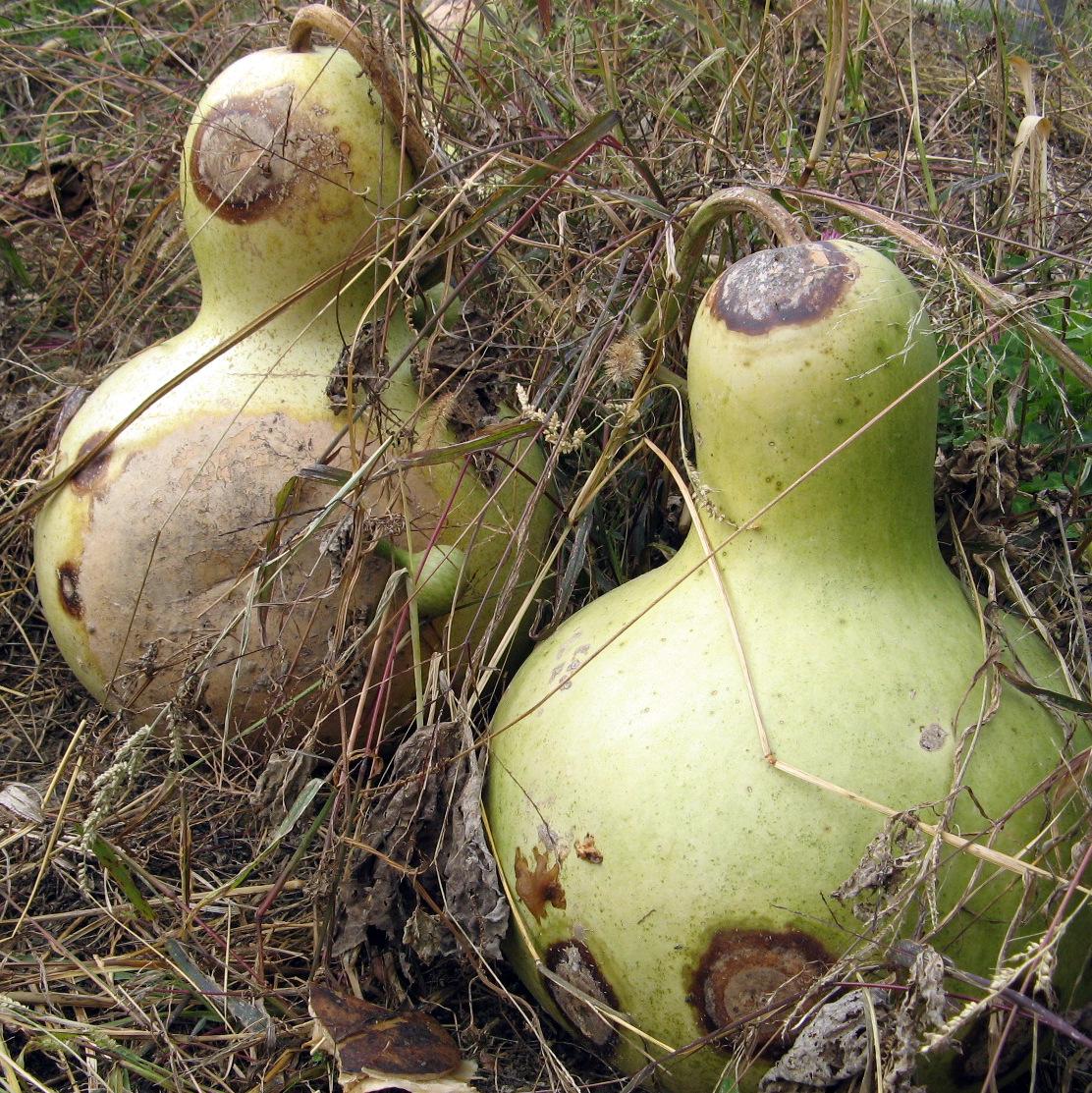 Lantern Gourds