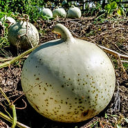 Bushel Umbilical Gourd Cross Pollinated