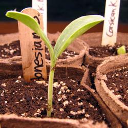 Growing Gourd