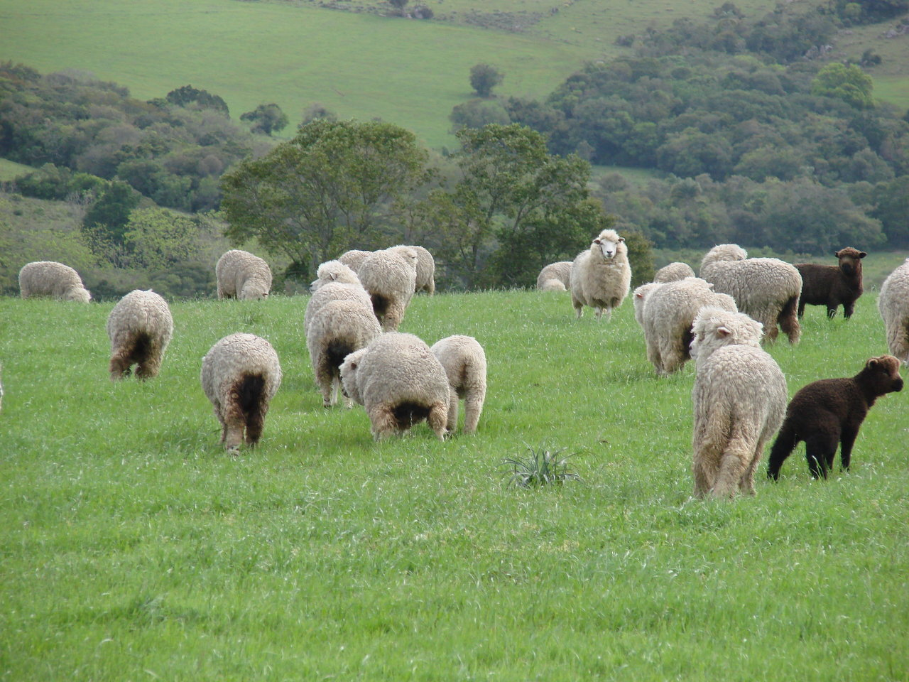 Grazing Sheep
