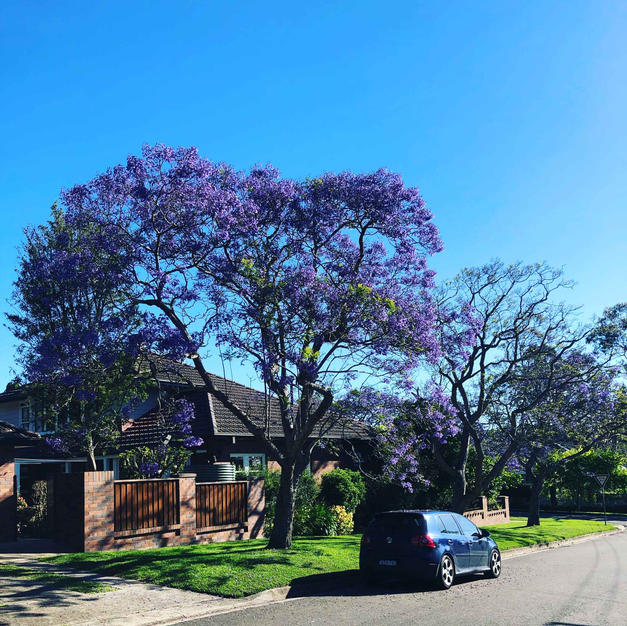 November is a beautiful time of year in Sydney! Jacarandas in bloom.