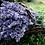 Thumbnail: French Lavender