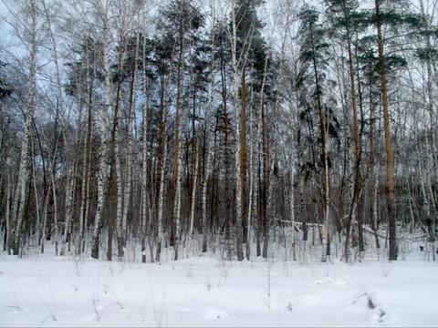 Bois de bouleaux alentour de Moscou