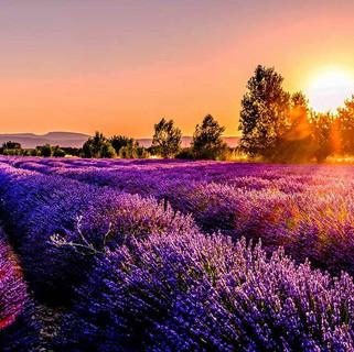 lavender-field-at-sunset.jpg