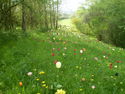 Tulip Meadow