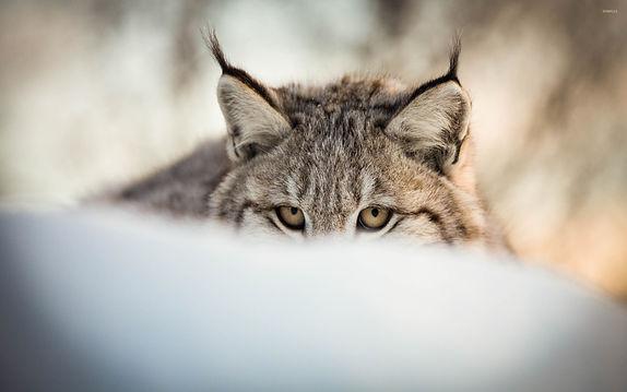 lynx-hiding-in-the-snow-47211-2560x1600-