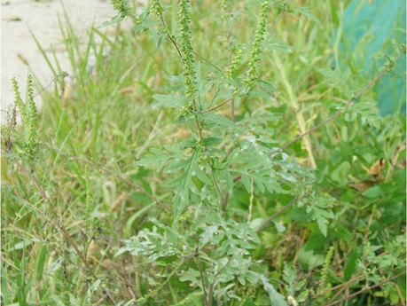 Are You Ready For Ragweed Season?