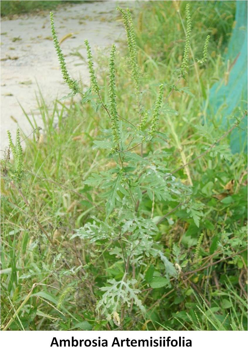 Ambrosia artemisiifolia_Title.JPG