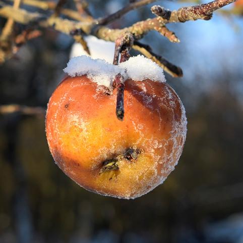 ľadové jabĺčko.jpg