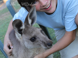 Endangered* KANGAROO Facts and Resources