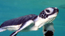 Endangered SEA TURTLE Facts and Resources