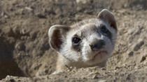 Endangered BLACK-FOOTED FERRET Facts and Resources