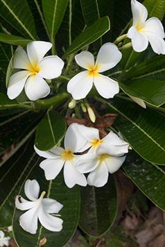 frangipani copy.jpg