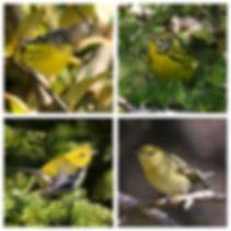 Fall plumaged warblers, Magnoila Warbler, Prairie Warbler, Black-throated green Warbler, Blackpoll Warbler