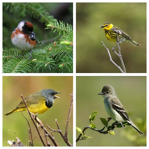 Codroy Valley Birds: Bay-breasted Warbler and Cape May Warbler
