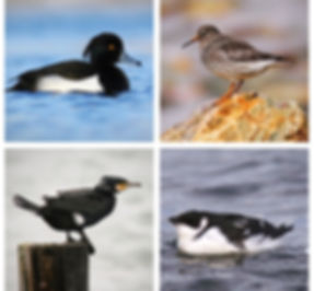 Newfoundland winter birs, Tufted Duck, Purple Sandpiper, Great Cormorant, Dovekie