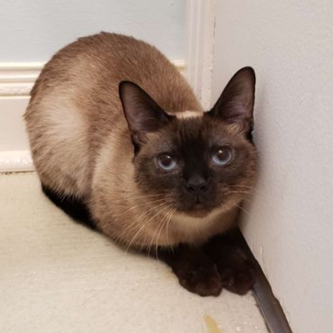 Shadow-Siamese1.PNG