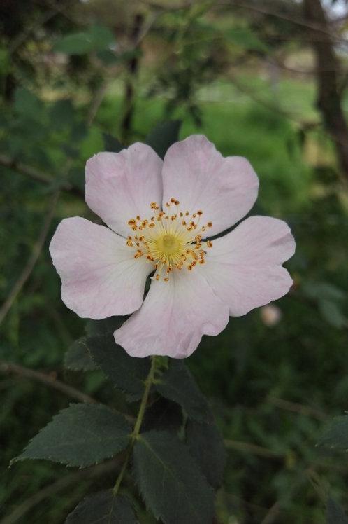 Rose, Dog