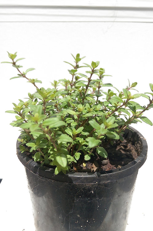 Thyme, Mother of