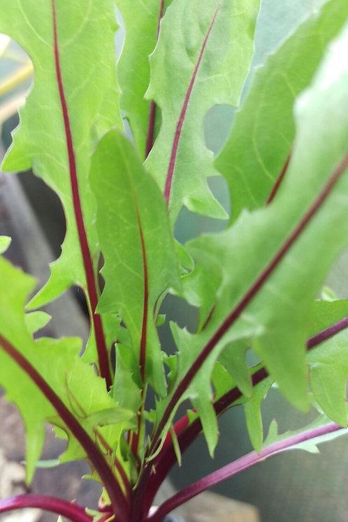 Chicory, Red Dandelion