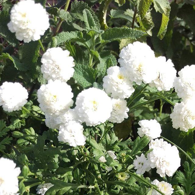 Double flowering feverfew flowering in our garden #midsummerherbs #medicinalherbs #herbsforsale #unusualherbsforsale  #feverfew #doubleflowe