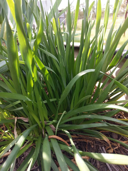 Chives, Blue