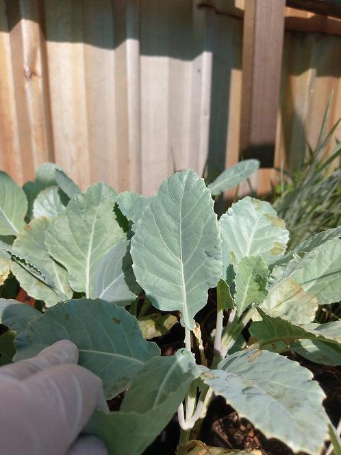 Cabbage, Wild Perennial