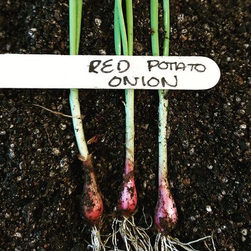 Potato Onion-Red