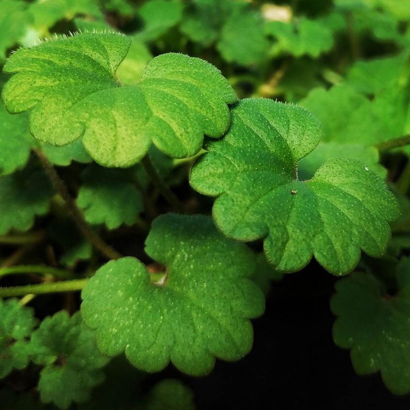 Alehoof Ground Ivy