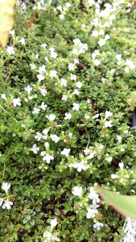 Thyme white creeping midsummer herbs herbs perennials edibles excellent ground cover plant for a sunny spot foliage grows tightly together frost hardy produces small white flowers mightylinksfo