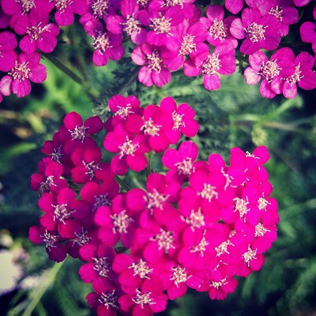 Yarrow flowering in the garden #midsummerherbs #herbsforsale #herb #perennials #perennialsforsale
