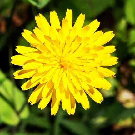 French Scorzonera Flower.jpg