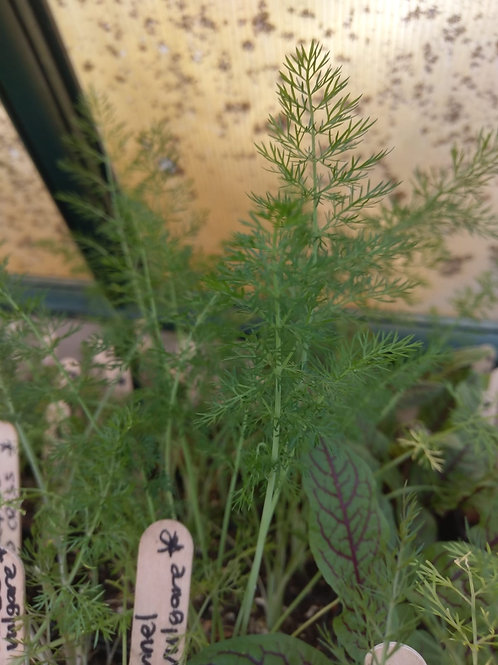 Fennel, Sweet