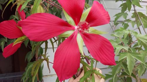 Swamp Hibiscus Red