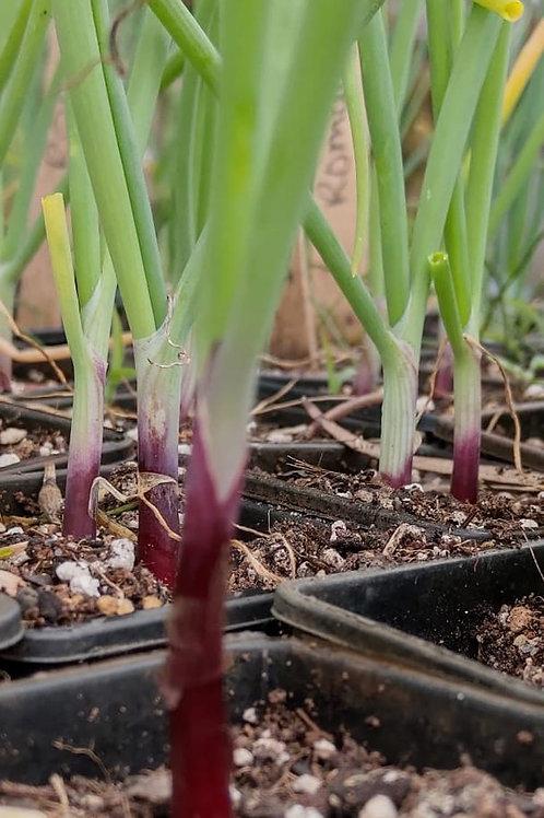 Onion, Bunching-Deep Purple