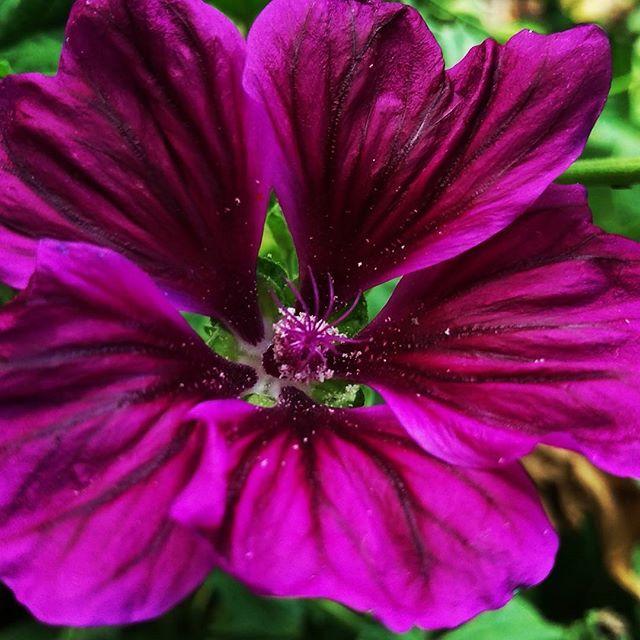 Blue Mallow #midsummerherbs  #perennials #malva #blueflowers