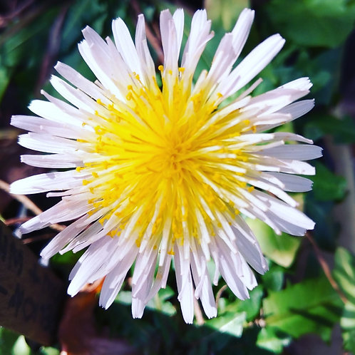 Dandelion- White Flower